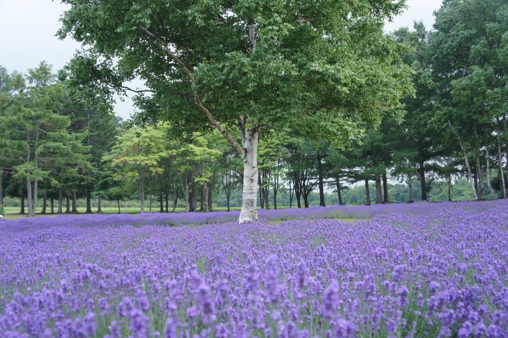 Lavendelfeld, Sapporo